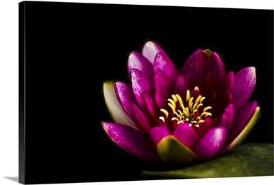Closeup capture of pink water lily on pond.