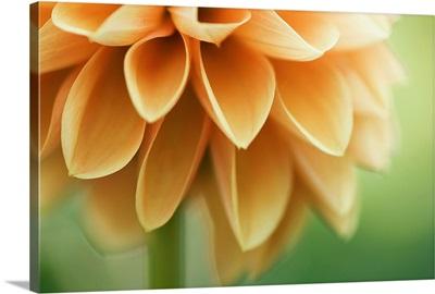 Closeup of orange Dalia flower petals.