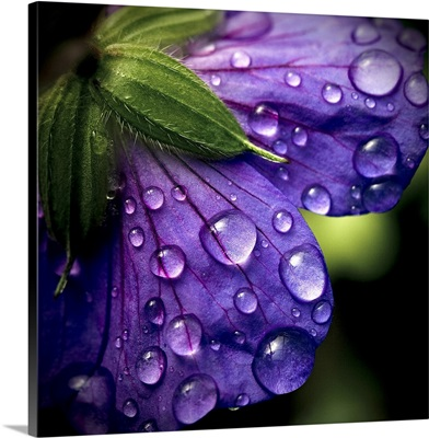 Closeup of purple flower and water drops on it.