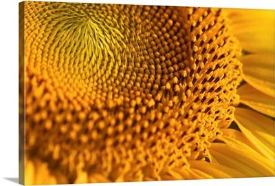 Closeup of yellow sunflower.