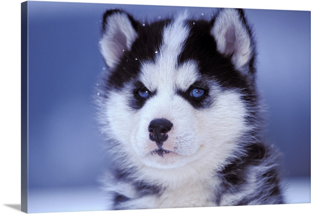 Closeup Portrait Of Six Week Old Siberian Husky Puppy Wall Art