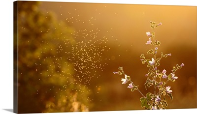 Cloud of mosquitoes flying around flowers on Sunset.