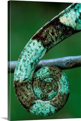 Coiled Prehensile Tail Of A Parson's Chameleon