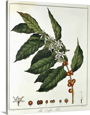 Color portrait of coffee plant and foliage