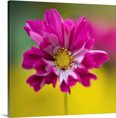 Colorful cerise pink single cosmos sonata facing front.
