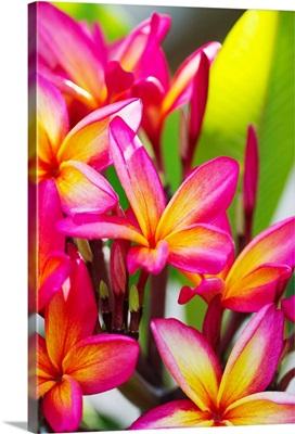 Colorful Plumeria (Frangipani) Blossoms. Maui, Hawaii
