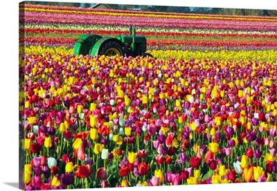 Colorful Tulip Farm
