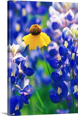 Coreopsis And Bluebonnets