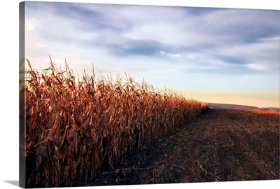 Cornfield at sunset sky in background.