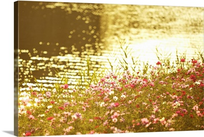 Cosmos Flowers by River
