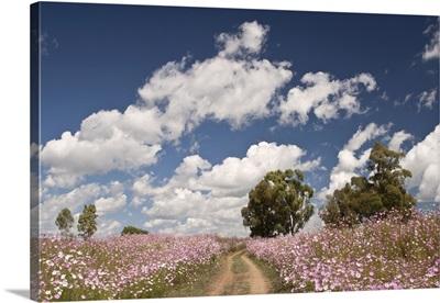 Cosmos flowers growing in field, Heidelberg area, Gauteng Province, South Africa