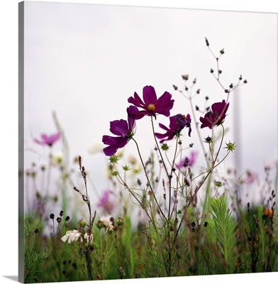 Cosmos flowers nature field pink green Hasselblad film argentique.