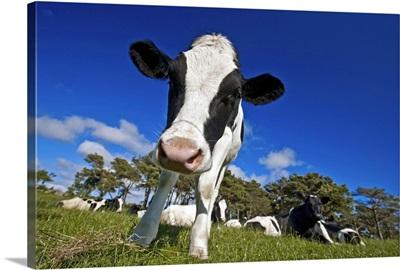 Cows feeding on pasture
