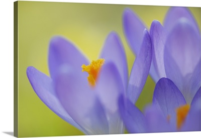 Crocus flower, (Crocus sp.), close-up, Selective Focus