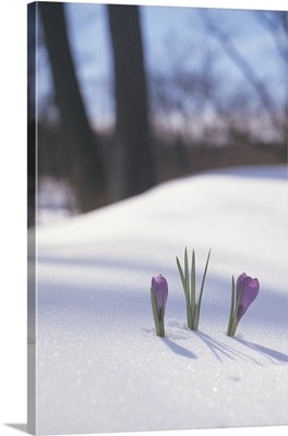 Crocus growing through snow