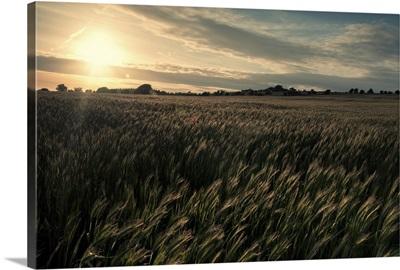 Crop field at sunset taken near Priddy in Somerset.