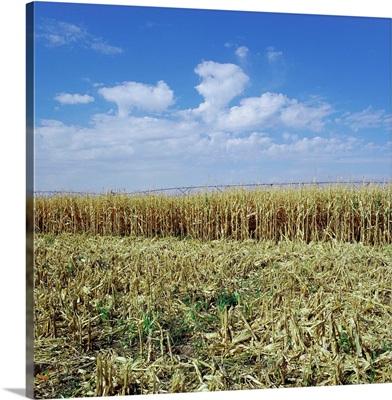 Crops Growing In A Field