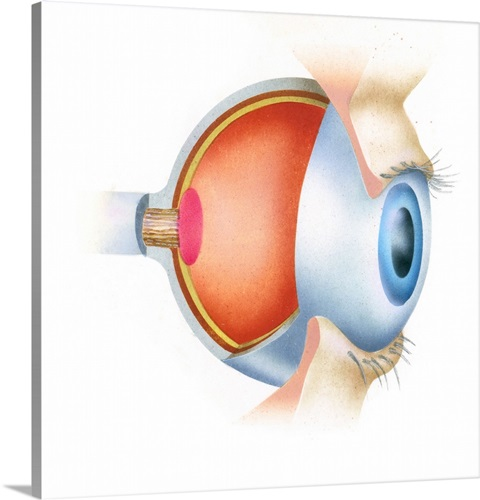 Cross Section Illustration Of Anatomy Of Human Eye Showing Use Of