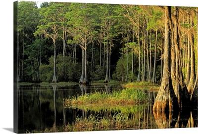 Cypress trees in Lake Bradford Region, Tallahassee, Florida