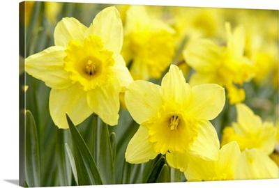 Daffodils in field
