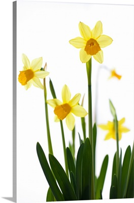 Daffodils (Narcissus sp.) against white background, close up