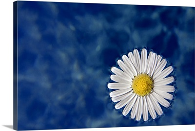 Daisy floating in water, Italy.