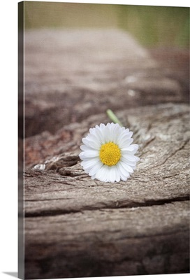 Daisy resting on wood with soft pastel tones in background.