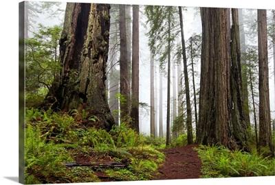 Damnation Trail Through Redwoods