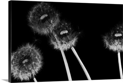 Dandelion fluff in black and white
