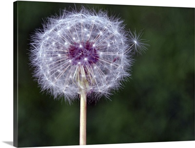 Dandelion seed pod.