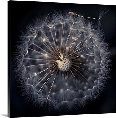 Dandelion seeds on black background, France.