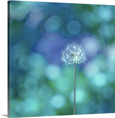 Dandelion with blue and green background.
