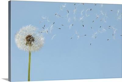 Dandelion with seeds flying away