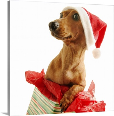 Dashshund on a present with a Santa hat