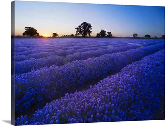 Dawn over a field of lavender