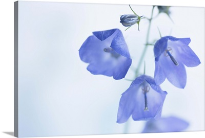 Delicate pale blue, bell shaped campanula flowers and buds.