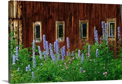 Delpinium Blooms Next To A Barn