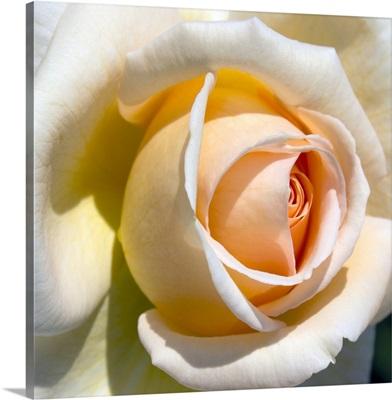 Detail of pale rose.