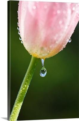 Dew Dripping Off A Tulip