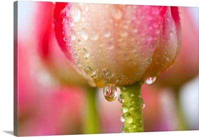 Dew Dripping Off A Tulip