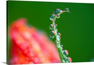 Dew Drops On A Flower Stem