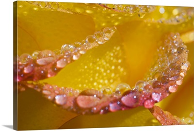 Dew on flower petals