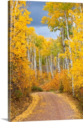 Dirt Road Lined With Colorful Aspen Trees In Autumn