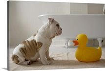 Dog on mat looking at plastic duck