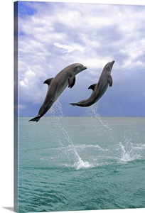 Dolphin Bottle Nose Dolphin Wall Art Canvas Prints