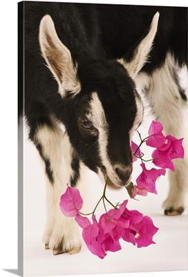 Domesticated British Alpine goat (kid).