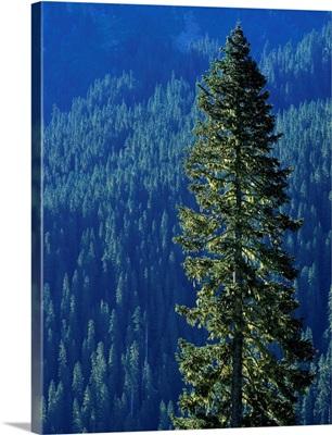 Douglas Fir In Mount Rainier National Park