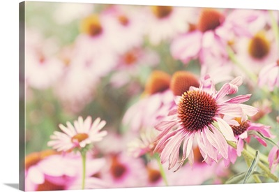 Echinacea, pink flowers in sunlight.