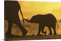 Elephant (Loxodonta africana) calf holding mother's tail, Khaudom Reserve, Namibia