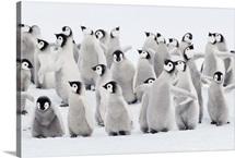 Emperor penguin chicks, ome spreading wings. Snow Hill Island, Antarctica.